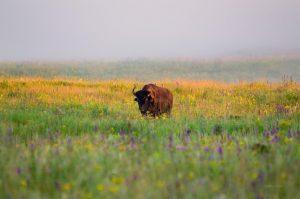 Lake Audy Bison